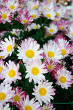 Red brown and white Chrysanthemum Royalty Free Stock Photography