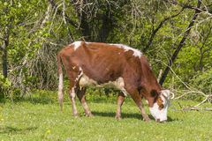 Red brown white cow grazes on edge of forest Stock Photography