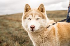 Red or brown and white malamute dog photographed outdoors, looking at camera. Malamute mix dog photographed outdoors for a local non-profit shelter. This dog has stock photo