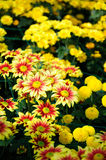 Red brown and yellow Chrysanthemum Stock Photos