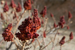Red brushwood of sumac, Rhus Typhina Brilliant. Traditional Mediterranean spice Stock Photo