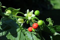 Red bryony Royalty Free Stock Photography