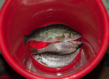 Red bucket of fish Royalty Free Stock Photography