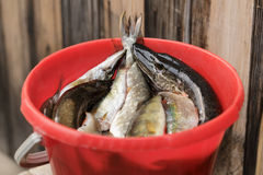 Red bucket with fish Stock Photos