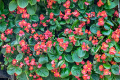 Red bud begonia blooming flower Stock Photography
