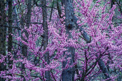 Red Bud in bloom, KY Royalty Free Stock Image