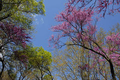 Red bud tree in spring Royalty Free Stock Image