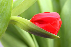 Red bud of tulip Stock Photography