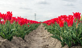 Red budding and flowering tulip blooms in long rows. Next to a small path. In the background is a high voltage pylon visible. It is a cloudy day in the royalty free stock image