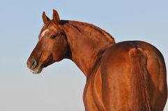Red Budenny stallion portrait on sky background. Red Budenny horse portrait on sky background Stock Photography