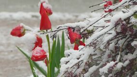 Red buds covered with snow. Red buds of tulip flowers are covered with snow during snowfall stock footage