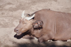 Red Buffalo Royalty Free Stock Photos