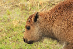 Red Buffalo Calf. Young buffalo calf in the spring rain Stock Image