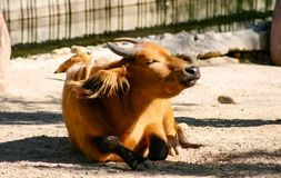 Red buffalo Syncerus caffer nanus lying on the ground sunbathing royalty free stock photography
