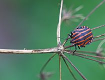Red bug. A brightly colorful insect or bug on a pointy plant ( Graphosoma italicum ) with colr spots in the background royalty free stock image