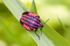 Red bug Royalty Free Stock Photos