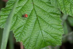 Red bug attaches itself to a green plant