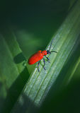 Red bug Stock Image