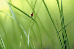 Red bug on a blade of grass 1. Red bug climbing a blade of grass in a green scenery stock photos