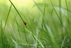 Red bug on a blade of grass 2. Red bug climbing a blade of grass in a green scenery royalty free stock images