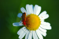 Red bug on chamomile flower. Early summer Royalty Free Stock Photos