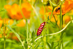 Red bug on cosmos flower stalk Royalty Free Stock Photography