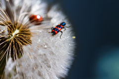 Red bug on the dandelion Stock Image