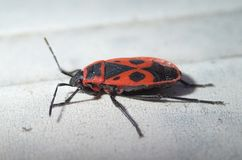 Red bug with dots Stock Photography