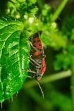red bug sitting on the grass leaf extreme close up stock photos
