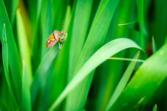Red Bug on grass Royalty Free Stock Image