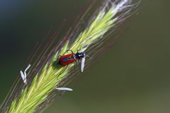 Red bug on green grass. A red bug on a green grass Stock Images