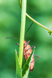 Red bug on green leaf Stock Images