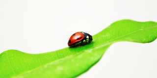 Red bug on green leaf. Nature theme: an image of a red bug on green leaf Royalty Free Stock Image