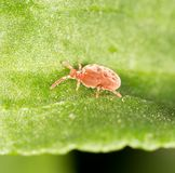 Red bug on a green leaf. close-up.  Royalty Free Stock Photography