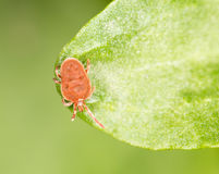 Red bug on a green leaf. close-up Stock Image