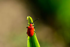 Red bug on a green leaf closeup Stock Images