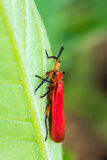 Red bug on green leaf Royalty Free Stock Photo