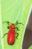Red bug on green leaf Royalty Free Stock Photos