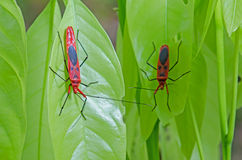 Red bug on green leaf Stock Image
