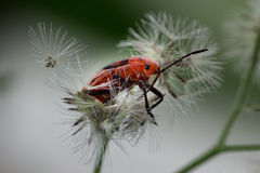 Red bug Royalty Free Stock Photo
