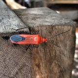 Red bug. In insect world Royalty Free Stock Photography