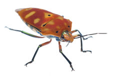 Red Bug Isolated on White Royalty Free Stock Photos