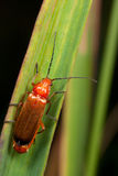 A red bug on the leaf. A photo of a big red bug with long horns  on the green leaf Stock Photo