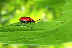 Red bug on a leaf Stock Photography