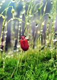 Red bug Royalty Free Stock Photography