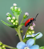 Red bug Stock Photography