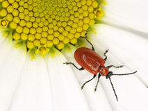 Red bug in a ox-eye Royalty Free Stock Image