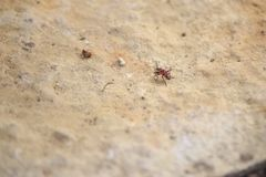 Red bug on a rock royalty free stock images