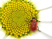 Red bug on small sun Royalty Free Stock Photo
