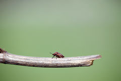 Red bug on a stick. Green background stock photo
